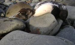 Black Rock Sea Duck Hunting Our Guide Service provides an excellent hunting experience gunning for Coastal Nova Scotia?s Eiders, Old Squaw, and Scoter Sea Ducks. Black Rock Sea Duck Hunting is an exceptional hunting experience.  Eiders, Old Squaw, and